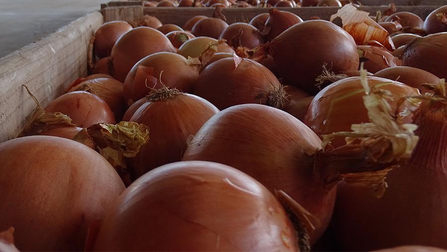 4 características o estado óptimo de la cebolla para ser almacenada en cámaras frigoríficas