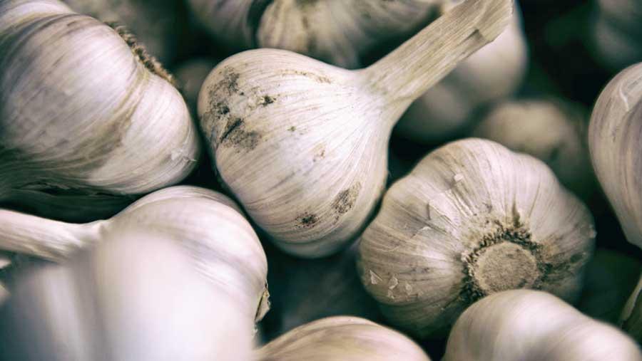 Parte 1: Historia y propiedades médicas del ajo