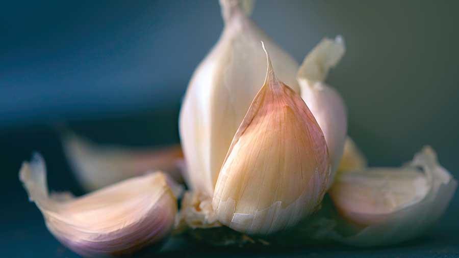 Parte 3: Historia y propiedades médicas del ajo