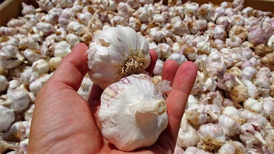 Castilla-La Mancha lidera la producción de ajo de la UE