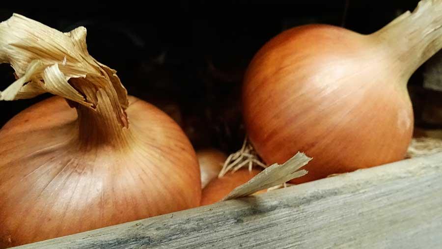 La Cebolla (Allium cepa L.): centro de origen, diversificación e historia de su cultivo