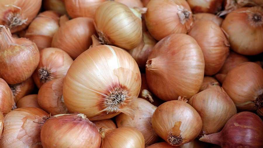 Las enfermedades más importantes de las cebollas